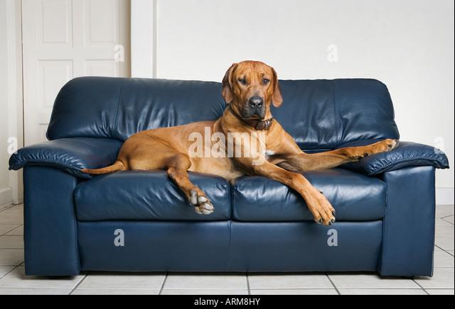 Rhodesian ridge back dog lying on sofa - Stock-Bilder