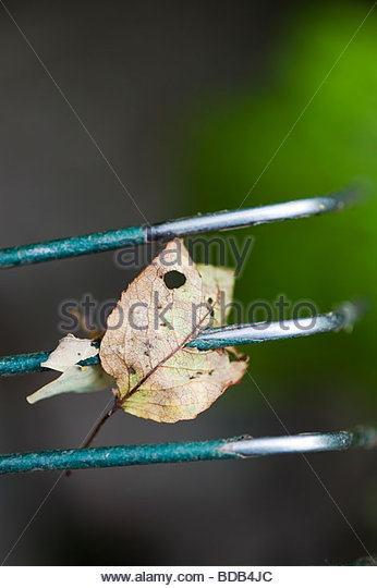Old tree leaves speared by a garden rake - Stock Image