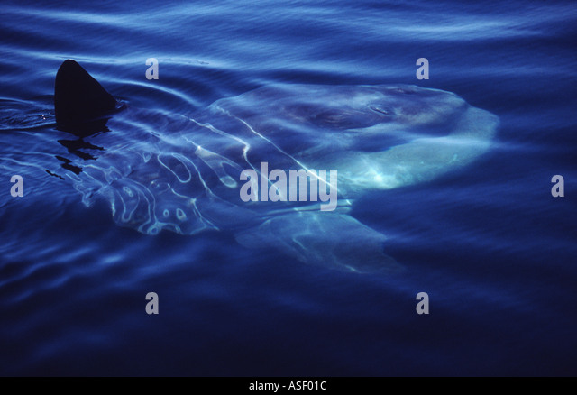 Sunfish Ocean Sunfish Mola mola At sea surface on calm day swimming slowly with dorsal fin breaking surface Bay - Stock Image