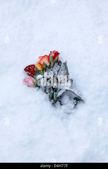 a bouquet of snow-covered roses - Stock Image