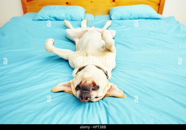 Dog is lying on back on the bed - selective focus - Stock Image