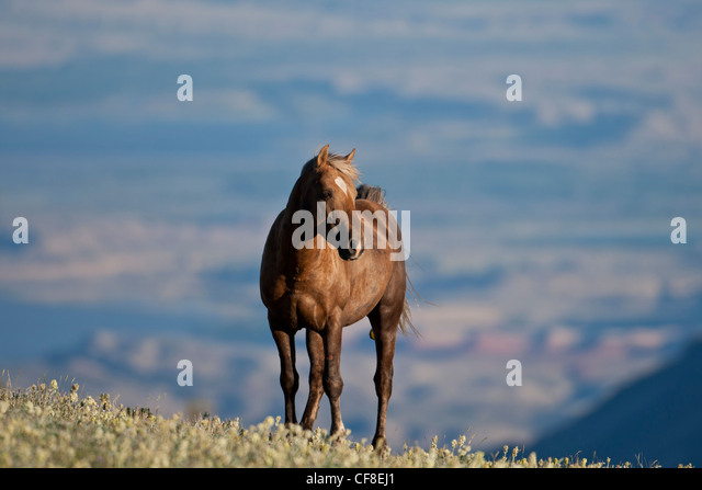Wild horse or mustang in Montana - Stock Image
