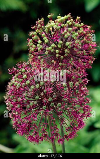 Close-up of deep pink alliums - Stock Image