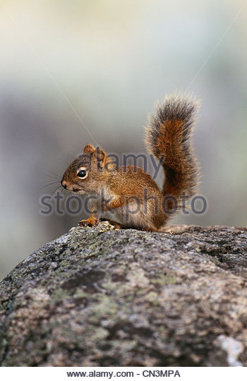 American red squirrel, Yellowstone National Park, Wyoming - Stock Image