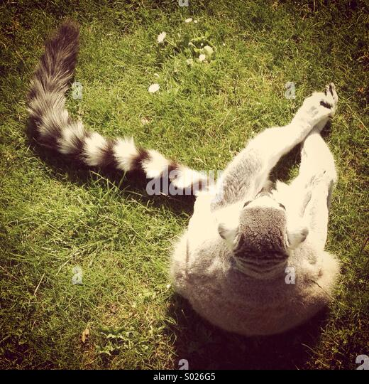 Relaxing Ringtail - Stock Image