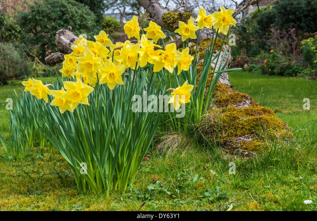 Daffodils growing in garden under old apple tree in spring. Tenth of sequence of 10 (ten) images photographed over - Stock Image