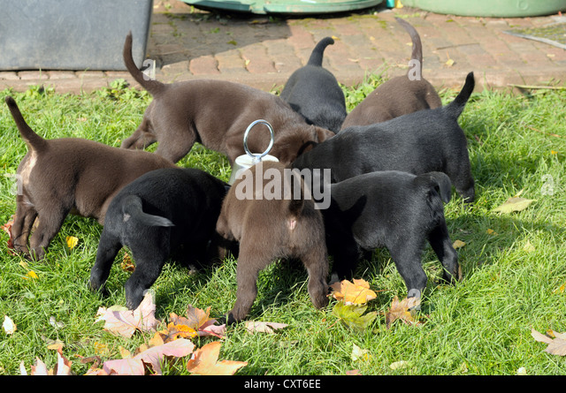 Black and brown Labrador puppies eating - Stock Image