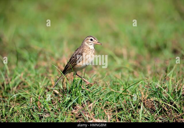 Oriental Skylark, (Alauda gulgula), adult alert, Bundala Nationalpark, Sri Lanka, Asia - Stock Image