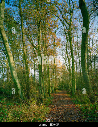 Autumn colours in Oaks Wood wildlife reserve in Cambourne Cambridgeshire - Stock Image