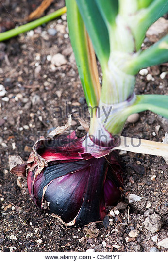 Onion Karmen . Red Onion in a vegetable patch close up. - Stock Image