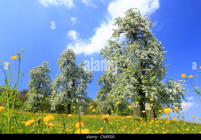 Pear switzerland tree stock photos pear switzerland tree for Domestica in svizzera