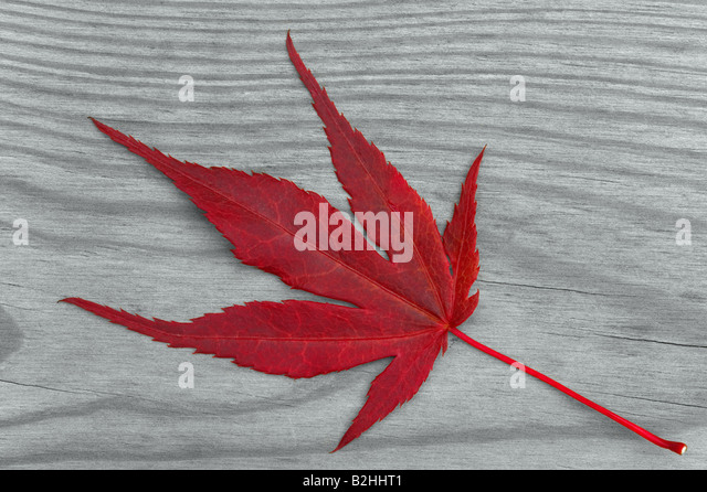 Red maple leaf on a grey wood background - Stock Image