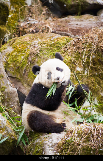 Giant Panda eatng Bamboo Woolong China - Stock Image