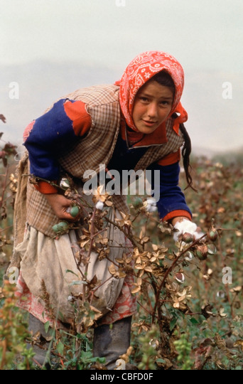 Young Tajik girl picking cotton along Tajikistan highway A385 100km southeast of Dushanbe - Stock Image