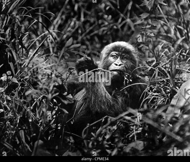 Gorilla, 1932 - Stock-Bilder