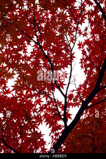 Autumnal Fall maple tree in South Korea - Stock Image