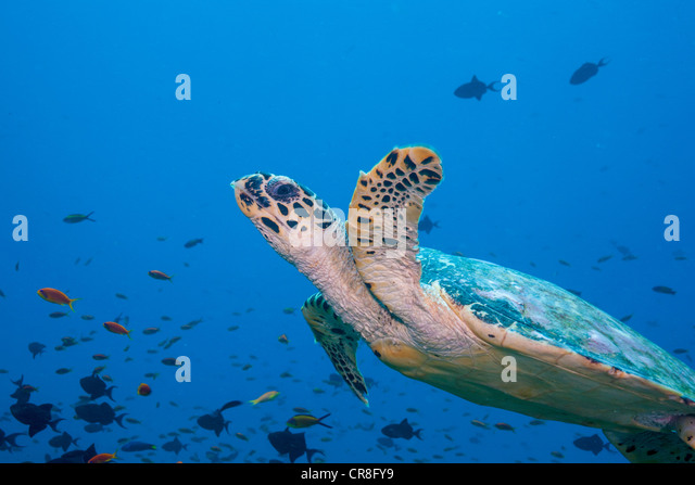 Hawksbill Turtle in Mid- water - Stock Image