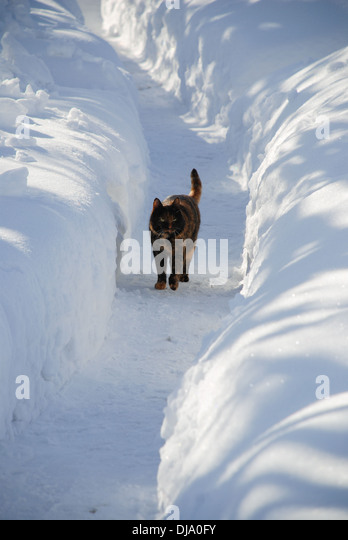 Cat walking in a snow trail - Stock Image