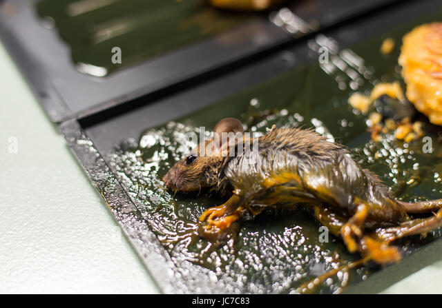 Dead Mouse Glue Trap Stock Photos Amp Dead Mouse Glue Trap