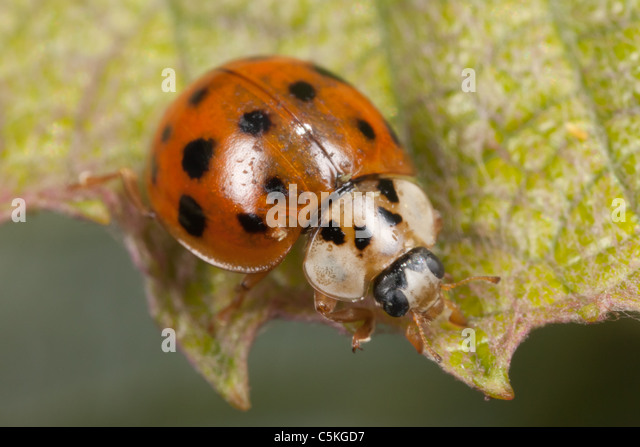 Asian lady beetle with fungus