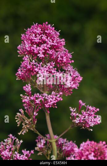 Red Valerian (Centranthus ruber) flower - Stock Image