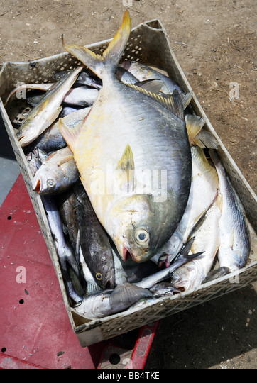 box of fish from the Casamance river, Ziguinchor, Senegal - Stock Image