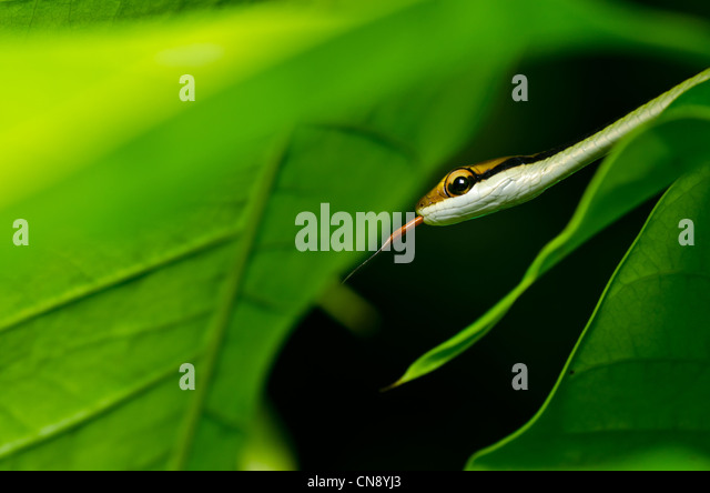 little snake in green nature or in forest - Stock Image