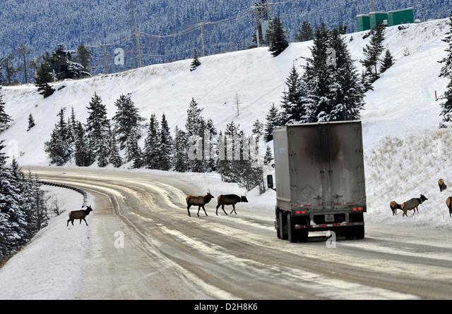 A herd of elk crossing the road. - Stock-Bilder