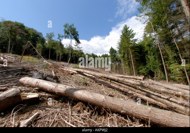 Felled Trees in The Forest Of Dean Gloucestershire - Stock Image