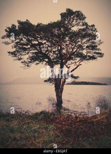 Ireland, County Kerry Ireland, Killarney, Munster, Tree at lake in Killarney National Park - Stock-Bilder