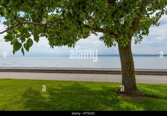 Tree by Shore in Weiden, Lake Neusiedl, Burgenland, Austria - Stock Image
