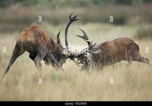 Red deer (Cervus elaphus) stags battling during the rutting season - Stock Image