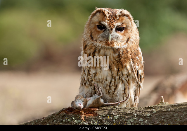 what is the relationship between tawny owl and mice
