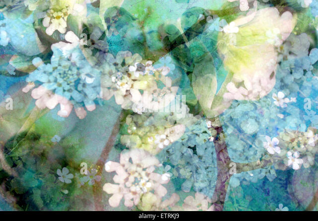 poetic photographic layer work from white and blue flowers with textures, - Stock Image