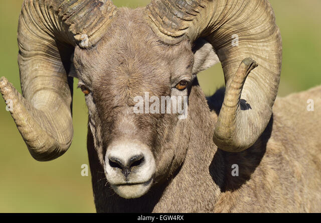 A close up portrait view of a bighorn ram  Orvis canadensis, taken in fall sunlight. - Stock Image