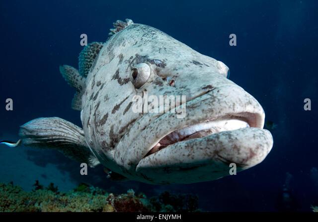 Potato cod, Cod Hole, North Ribbon reef, Great Barrier Reef, Queensland, Australia - Stock Image