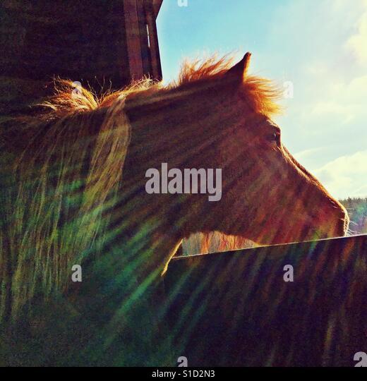 Icelandic horse looking through an opening at the sun. - Stock-Bilder