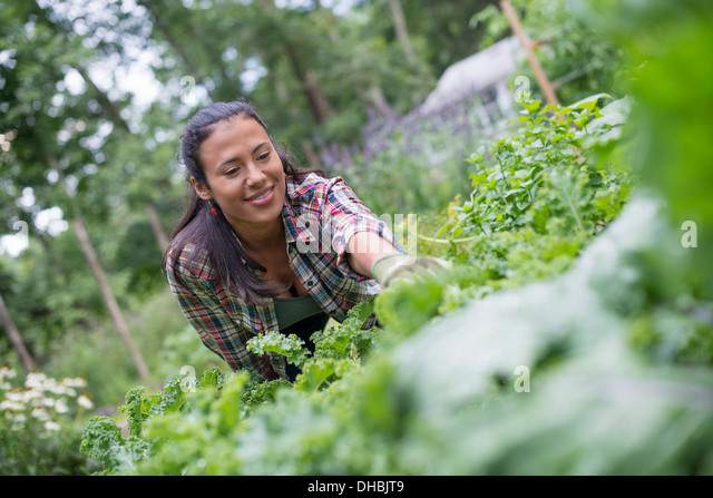 A woman leaning to pick fresh herbs and vegetables in a garden. - Stock Image