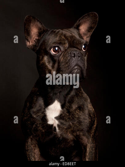Portrait of a black thoughtful French Bulldog in a black studio background - Stock Image