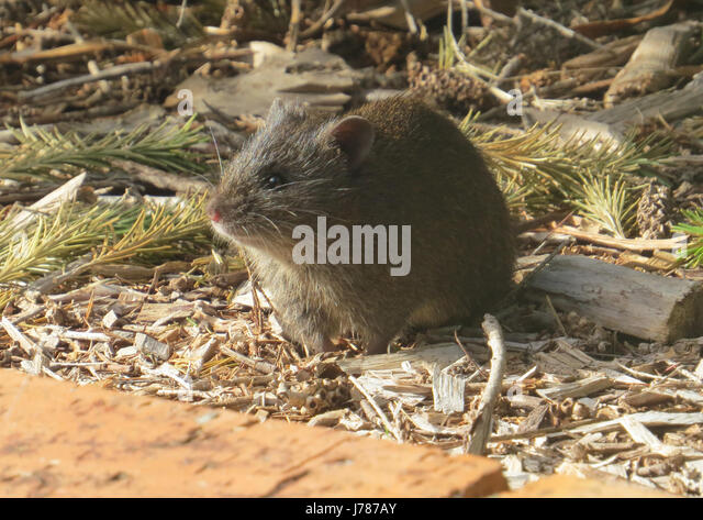 AUSTRALIAN BROWN RAT. Photo: Tony Gale - Stock-Bilder