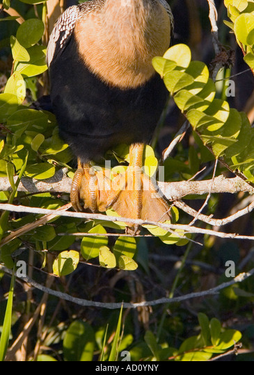 Bird anhinga yellow web feet closeup detail florida everglades national park ecotourism ecotravel - Stock Image
