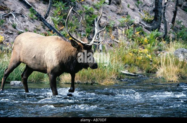 A 4x4 bull elk or wapiti Cervus Canadensis crosses river in Yellowstone National Park Wyoming COPYRIGHT DUANE BURLESON - Stock Image