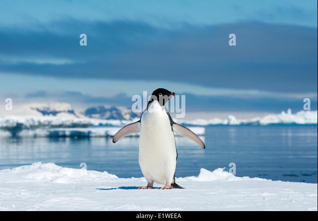 Adelie penguin (Pygoscelis adeliae) loafing by the ice edge, Petrel island, Antarctic Peninsula - Stock Image