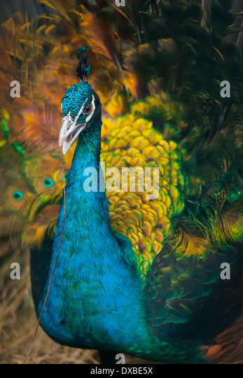 Peacock with a straw in its beak - Stock Image