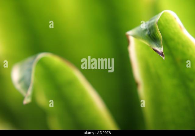 Florida, tropical plant, flora, growing, life, green, leaves, bending, narrow focus, - Stock Image