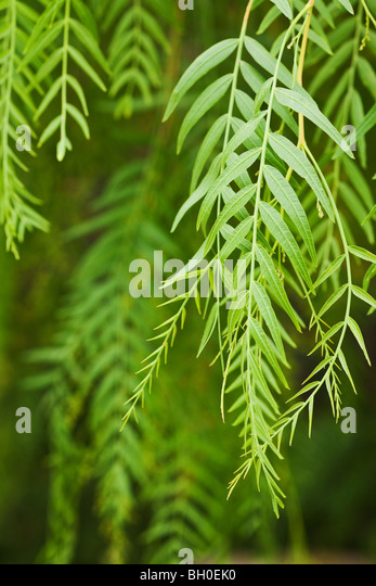 green leaf background with selective focus - Stock Image