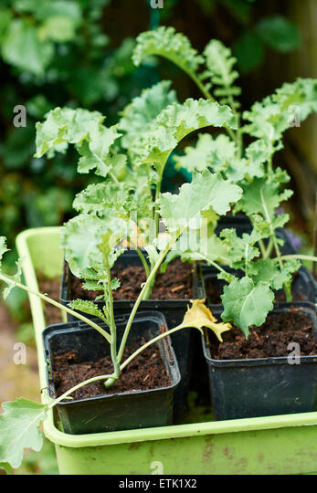 Kale seedlings in plastic pots - Stock Image