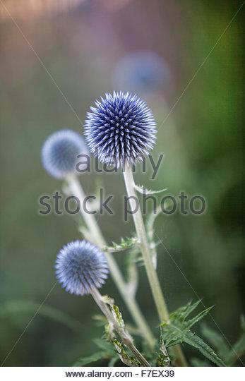 Echinops ritro, Globe thistle - Summer garden - Stock Image