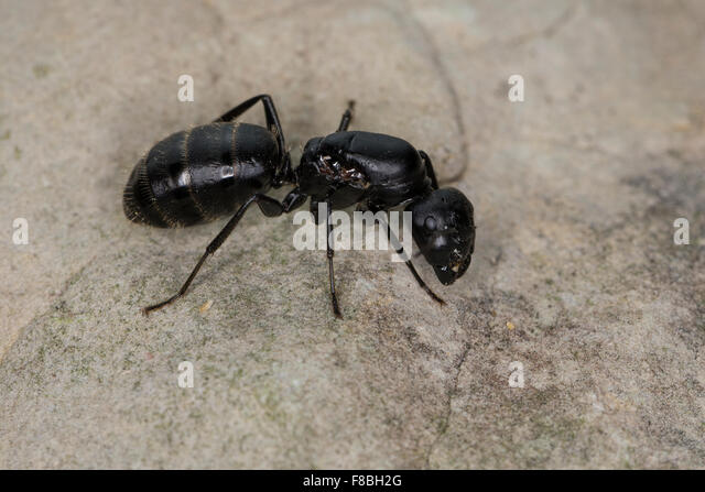 Formicidae Stock Photos & Formicidae Stock Images - Alamy