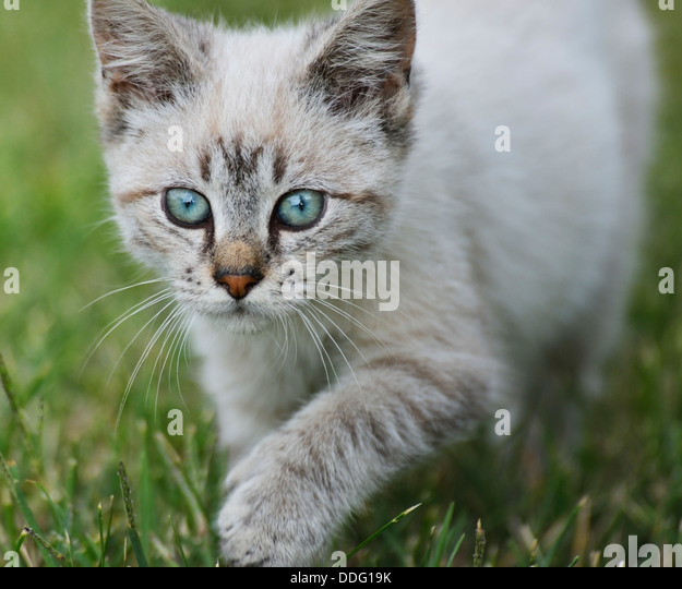 Young Cat Walking On Grass,Close Up - Stock Image
